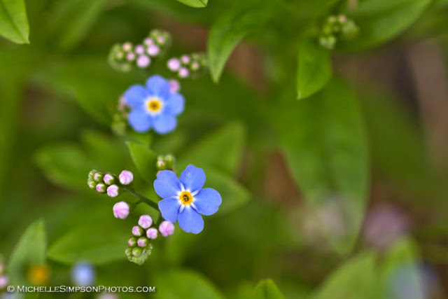 Forget Me Nots from Homer, Alaska