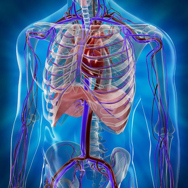 3d Cardiovascular System6