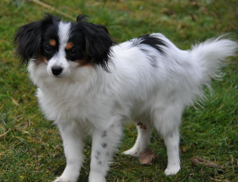 Phalene Dog For Sale Uk