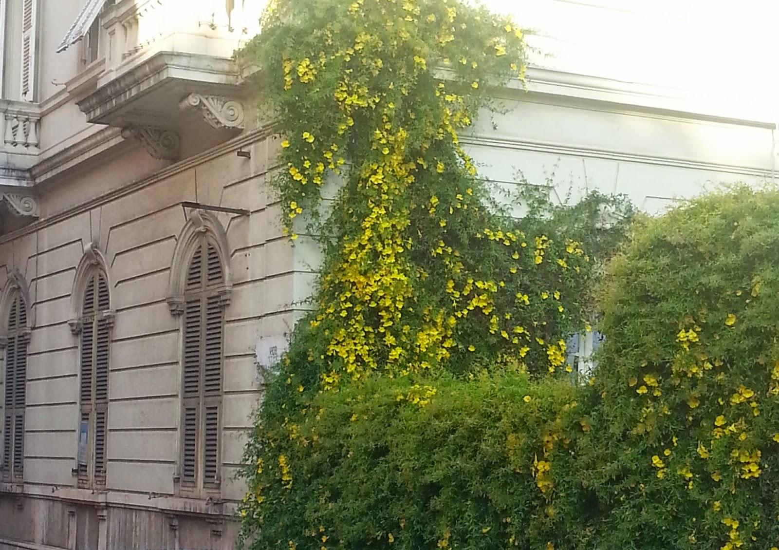 cagliari in verde la meraviglia del rampicante giallo fiorito