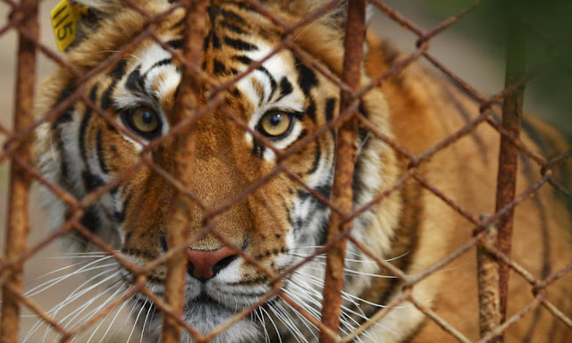 More Captive owned Tigers in the U.S. than remain in the Wild (Video)