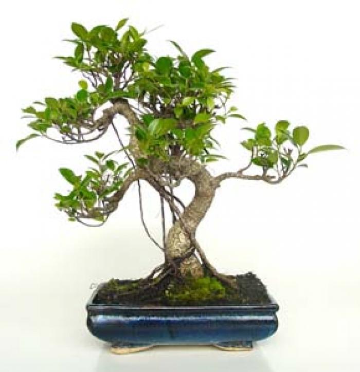 Como cuidar un bons i febrero 2013 - Como cuidar un bonsai ...