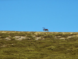 Caribou in in Denali National Park