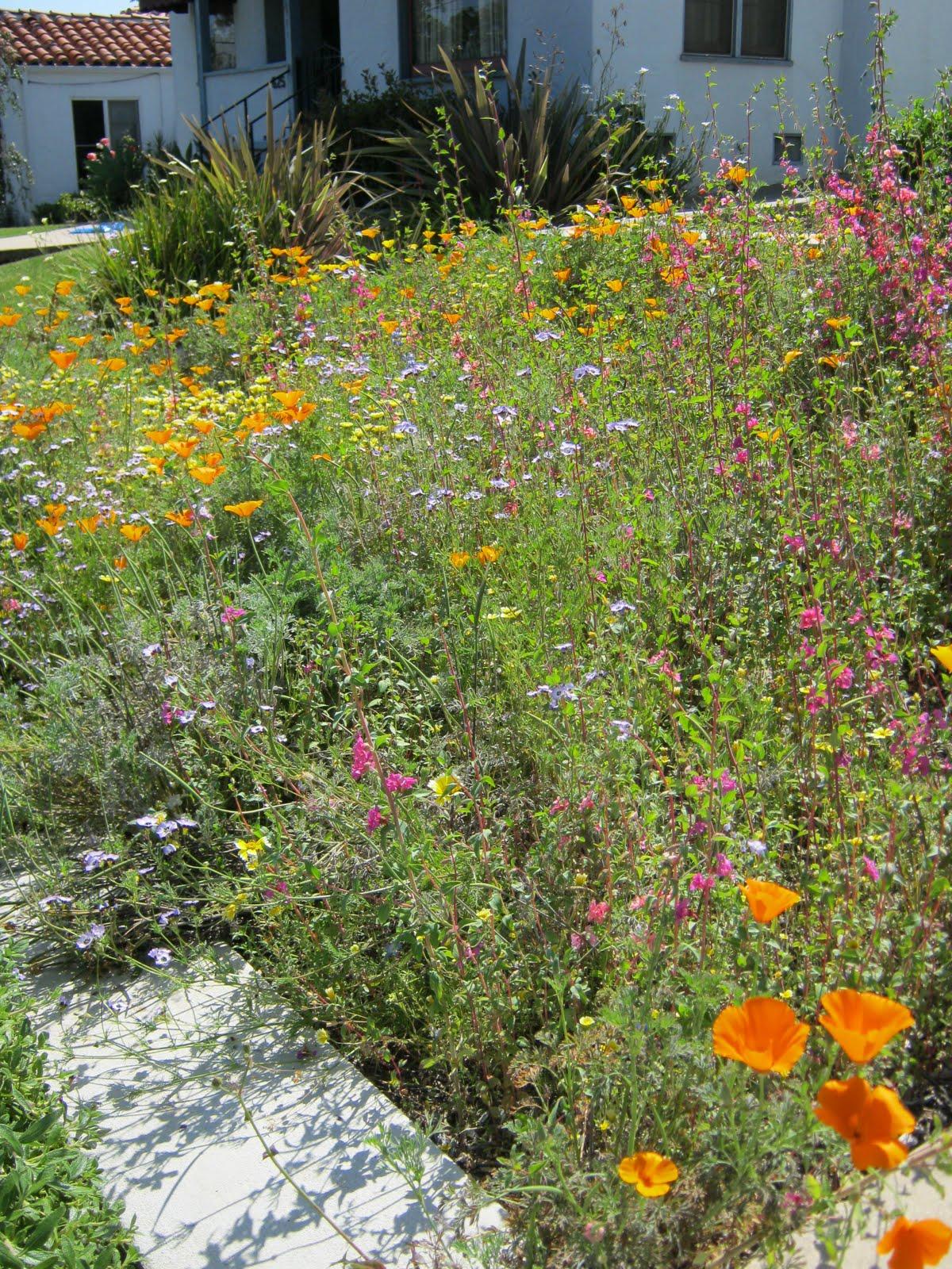 What Grows in Fullerton?: Wildflower garden