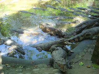 lazy, hungry crocodiles in zoobic safari