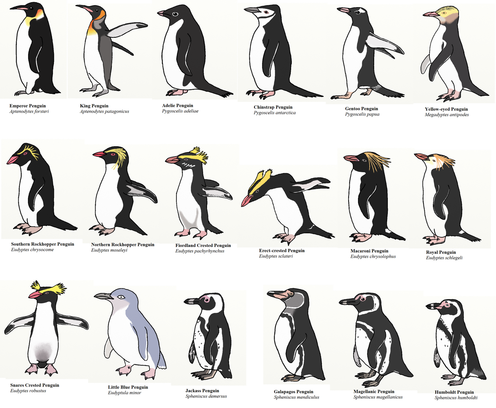 Information About Penguins