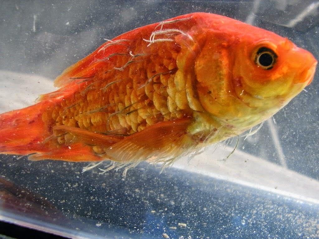 enfermedades comunes en los peces r3 pets