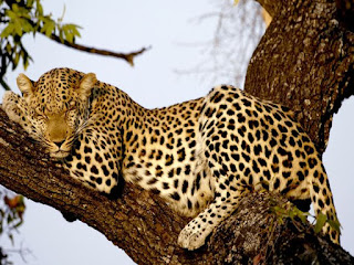 Macan Tutul atau leopard