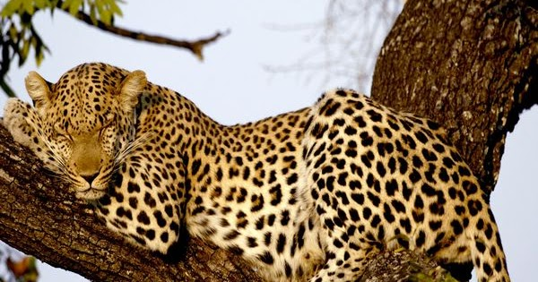 Macan tutul atau sering disebut Leopard merupakan salah satu dari 4 kucing besar yang tinggal di daerah asiatis