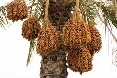 kandungan nutrisi pada buah kurma segar