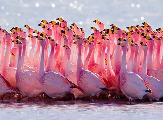 مالسبب وراء لون طيور الفلامينجو الوردي ؟ Flamingos