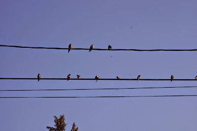 barn swallows on line