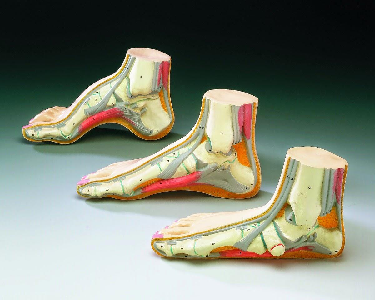Fisioterapia: Anatomía y Biomécanica del Arco Plantar