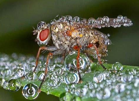 صور حشرات مغطاة بقطرات الندى .. سبحان الله. Al_1409405815_219