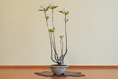 セイヨウカマツカL(西洋鎌柄 盆栽)Aronia arbutifolia bonsai