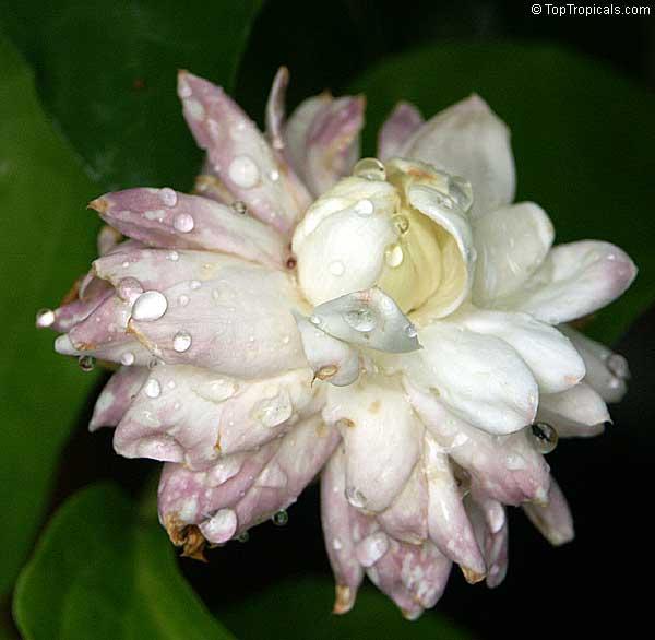 Jasmine Flower Wallpapers