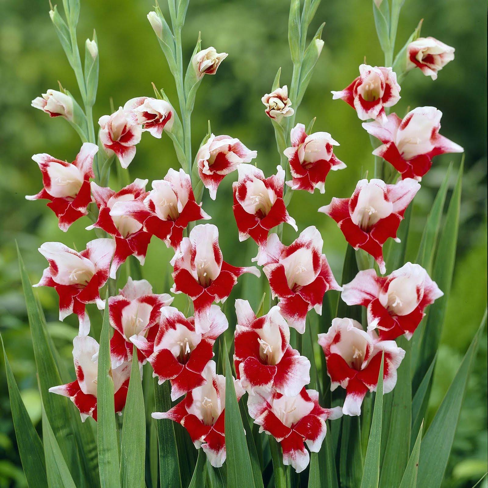 Gladiolus Flower Beautiful Flowers