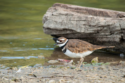 Killdeer, White Rock Lake