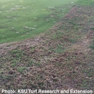 Armyworm damage to lawn