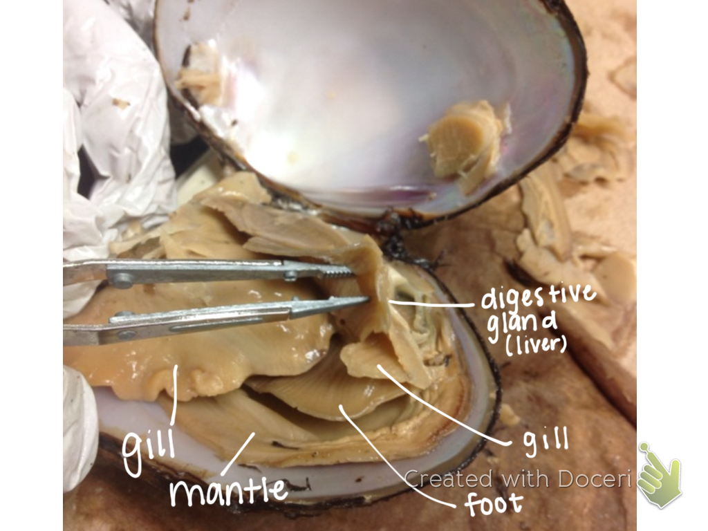 bio nerds how to dissect a clam