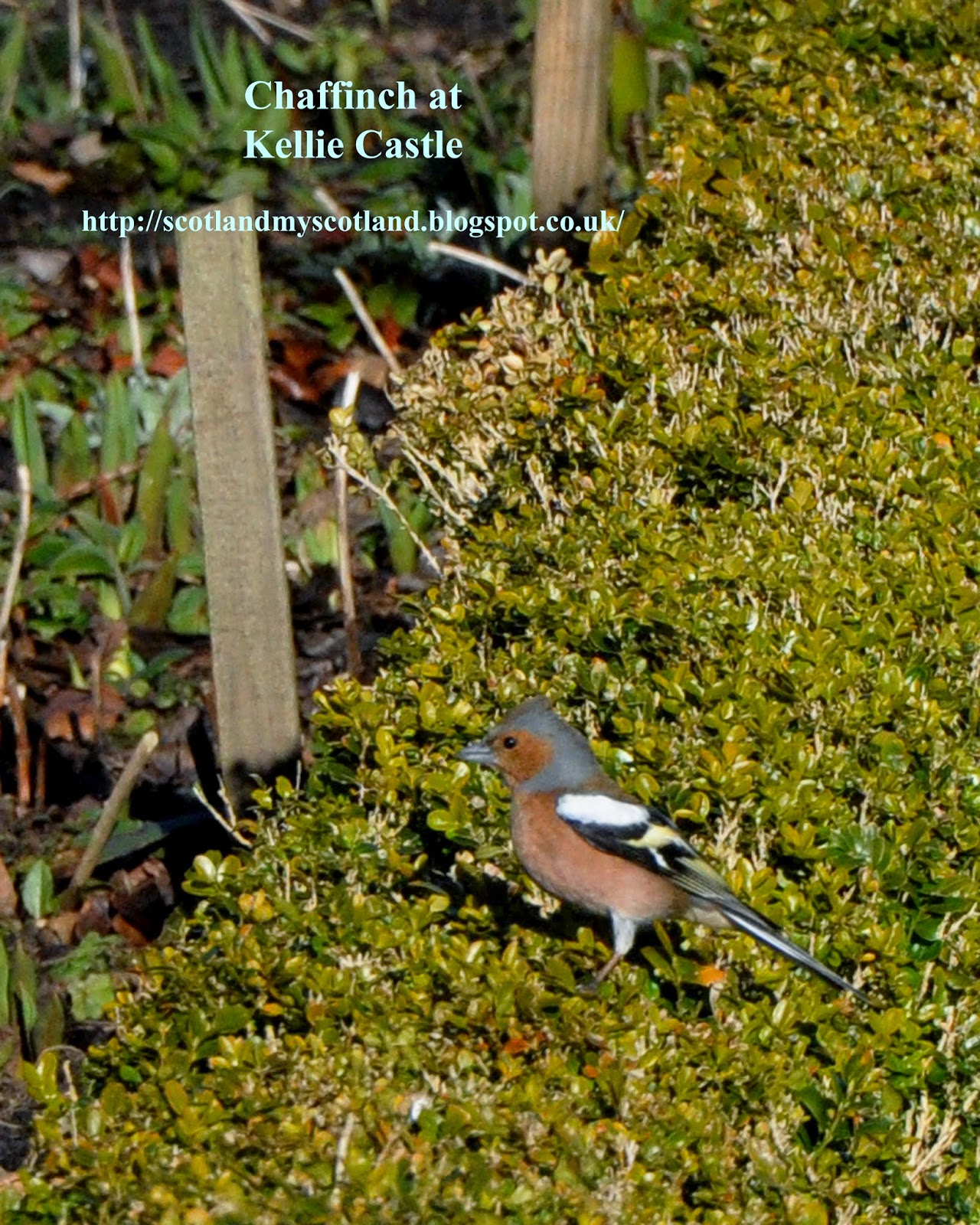 male chaffinch at Kellie Castle