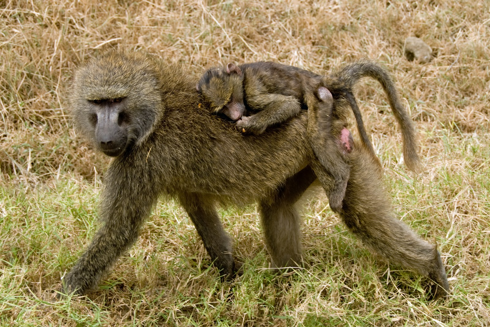 Baboon | The Biggest Animals Kingdom