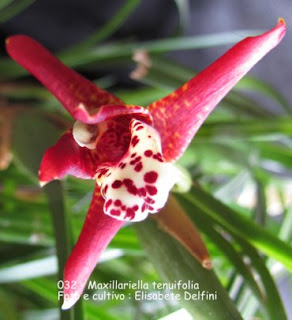 Maxillaria tenuifolia do blogdabeteorquideas