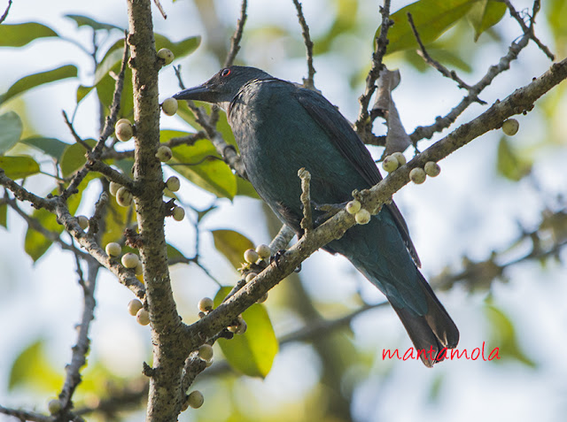 Asian Fairy Bluebird - female (Irena puella)