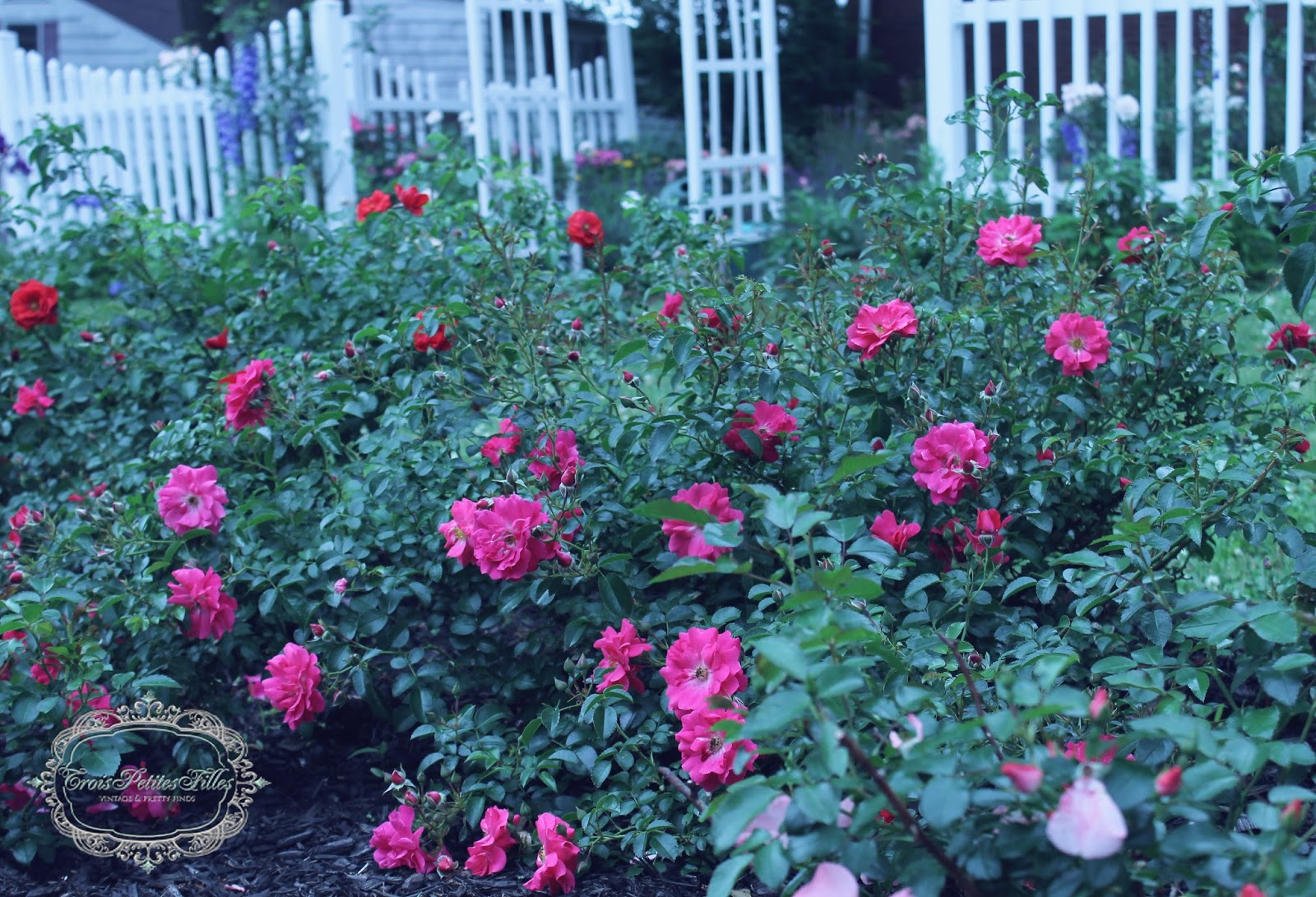 Trois petites filles flower carpet roses i dont think i have ever shown you my flower carpet roses before they usually are the last roses to bloom dhlflorist Image collections
