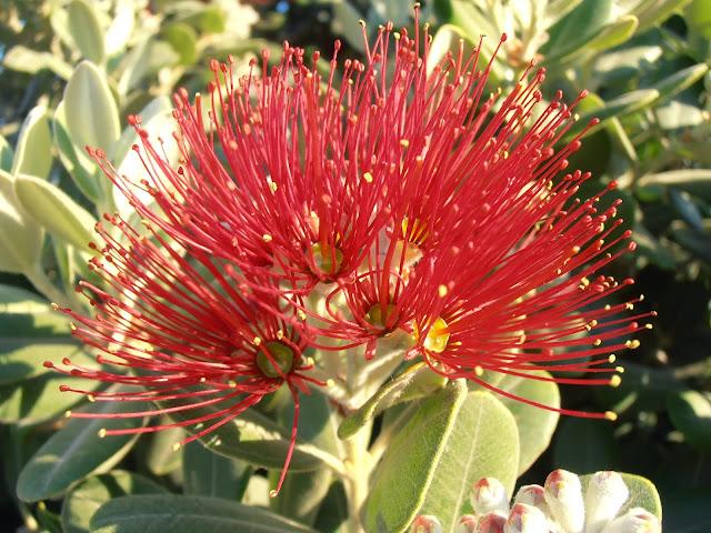 Flores del ÁRBOL DE HIERRO: Metrosideros excelsa