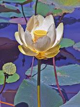 Nelumbo lutea-American Lotus