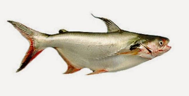 Hiu Air Tawar Si Ikan Patin
