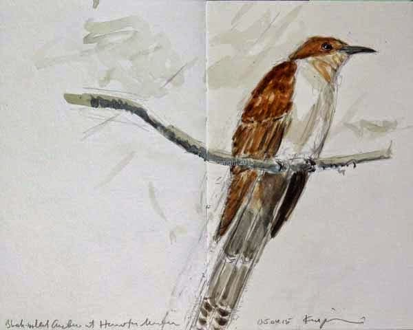 Black Billed Cuckoo At Houston Meadow Watercolor Sketch By Ken Januski