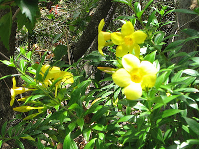 Allamanda Cathartica Flower