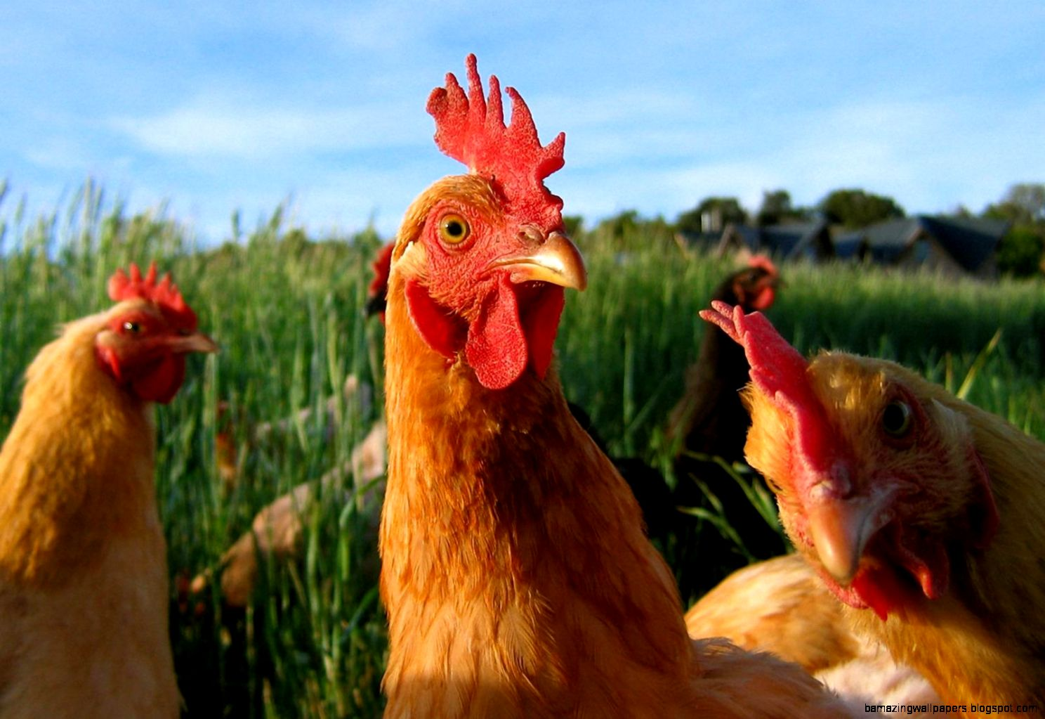 Chicken Wallpapers Related Keywords amp Suggestions   Chicken