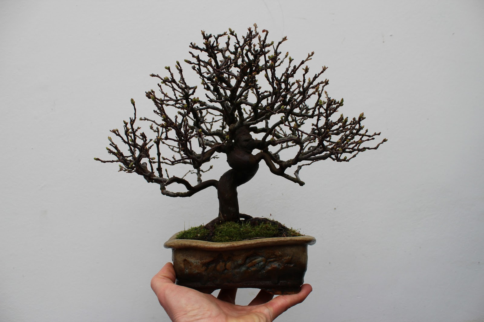 Bonsai Blog Of Sndor Papp REPOTTING PSEUDOCYDONIA SINENSIS
