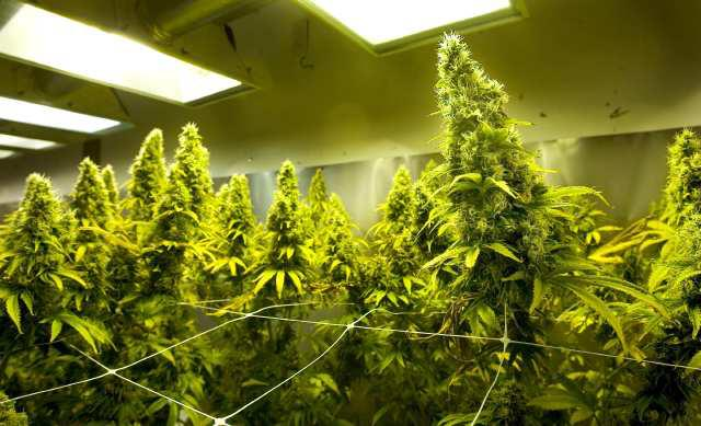 plantar maconha em interior indoor - plantação de maconha