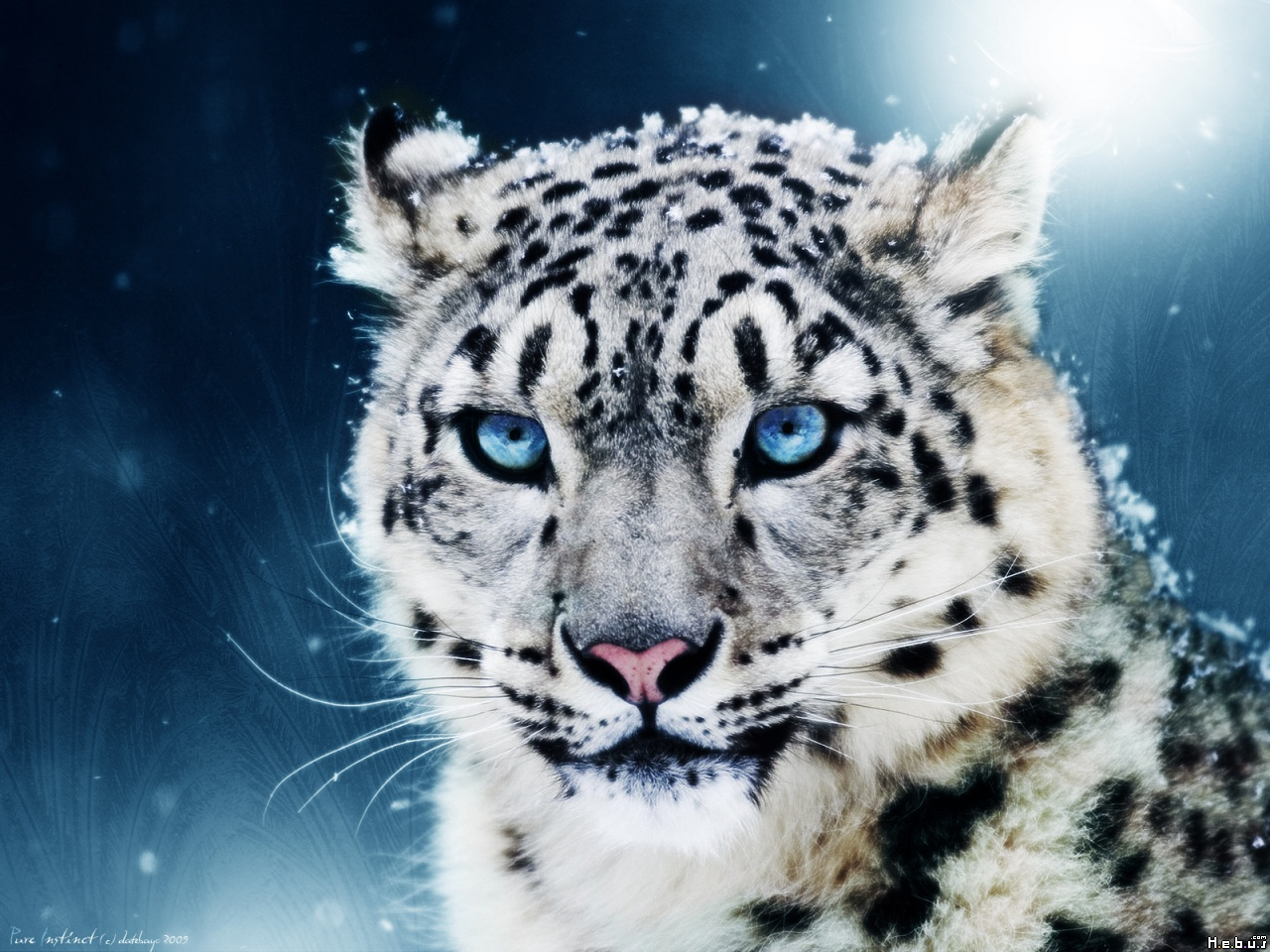 tiger wallpapers blue white tiger wallpaper