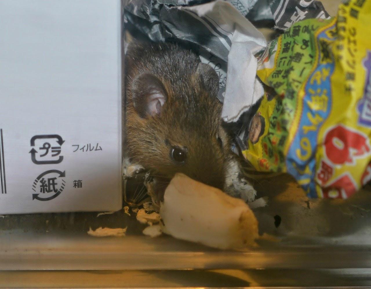 ハタネズミの画像 p1_10