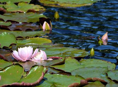 photo of water lily at Rockaway Beach by Nancy Zavada.