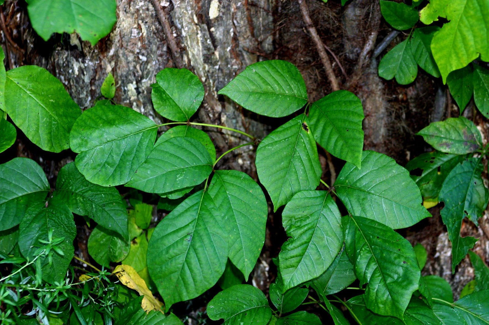 Image Result For Can Poison Ivy