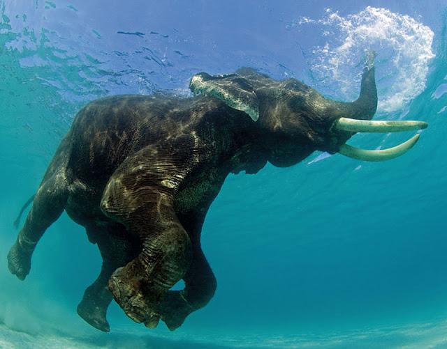 funny animal pictures, elephant underwater