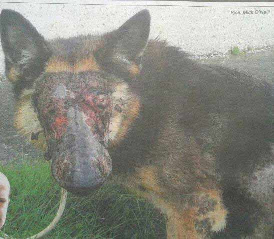 Gombeen Nation: German Shepherd put down after acid attack ...