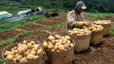 budidaya kentang organik nasa