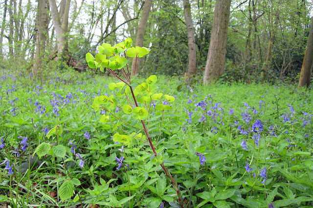 Wood Spurge, Euphorbia amygdaloides, among Bluebells, Hyacynthoides non-scripta. Lilly's Wood, 28 April 2012.