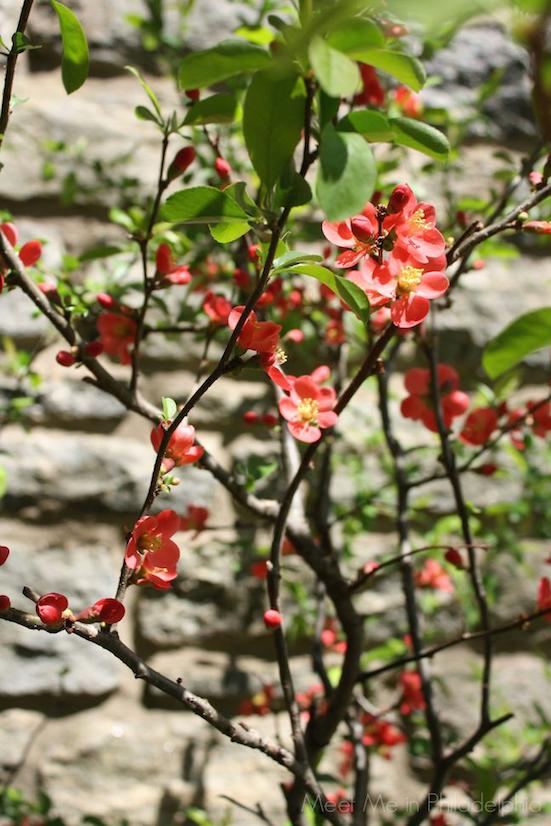 blooming quince via Meet Me in Philadelphia