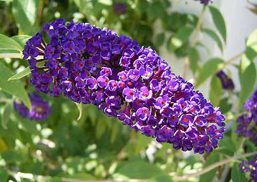 Tra orto e giardino la buddleja davidii la pianta amata for Pianta rampicante con fiori viola a grappolo