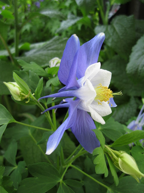 Music Blue and White columbine