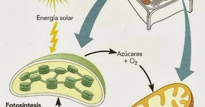 respiracion celular es catabolico o anabolico