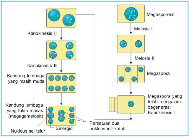 Diagram megasporogenesis